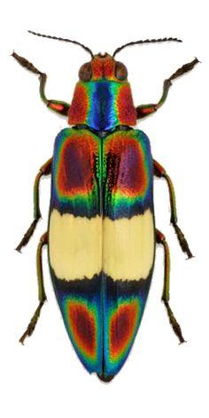 Chrysochroa ephippigera
