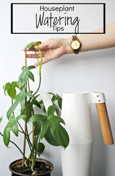 Houseplant Watering Tips - Clever Bloom #ad #sponsored