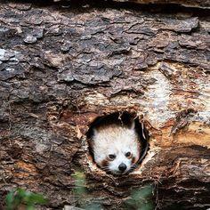 """Die Luft ist rein, kleiner Roter Panda! Das schüchterne Tier blickt noch etwas skeptisch aus seinem Versteck, während sein neues Zuhause eingeweiht wird: Das gemischte Gehege""""Asian Space""""im Zoo Mulhouse, Frankreich.  #zwergpanda #redpanda #firefox #panda #pandasofinstagram #animal #animals #tier #tiere #zoo #tierpark #enclosure #france #frankreich #mulhouse #diewelt  Foto:Sébastien Bozon / AFP Photo"""