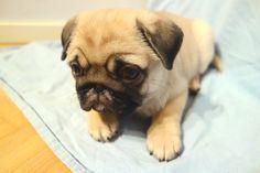 Coco, Kennel Troppola, Finland #pug