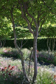 Luciano Giubbilei, Chelsea Flower Show 2011, meerstammige Parrotia persica en natuurlijke beplanting