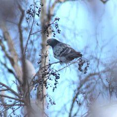 Pigeon in Fairbanks, Alaska