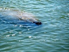 Cute nose just poking through the water! Love the manatees here on Lemon Bay!