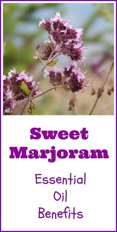 Sweet marjoram essential oil benefits possibly include fighting infections and help for insomnia. Learn more about this versatile aromatic oil. Lavender Essential Oil Benefits, Marjoram Essential Oil, Essential Oils For Face, Frankincense Essential Oil, Essential Oil Uses, Essential Oil Diffuser, Oils For Relaxation, Medicinal Herbs, Aromatherapy