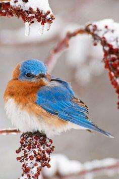The Eastern Bluebird Beautiful Creature! - Most Amazing Photography Pretty Birds, Love Birds, Beautiful Birds, Animals Beautiful, Cute Animals, Kinds Of Birds, Tier Fotos, Backyard Birds, Mundo Animal