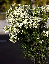 What do you think??--Waxflower-white