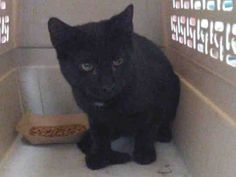 PASTRY - A1092045 - - Staten Island  ***TO BE DESTROYED 10/14/16*** A SECOND CHANCE TONIGHT FOR SWEET PASTRY!!! LET'S MAKE IT COUNT!  PASTRY is a good name for this cute black cat with a tiny bit of white on his chest, because he's a sweetie! He is a male, around 2 years old, who was found as a stray and brought to the shelter in search of a better life. Time is running out for this sweet guy. He's on tomorrow's list to be killed at the shelter if he's not res