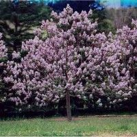 World's Fastest Growing Tree with Year-Round Appeal  The Royal Empress Tree (Paulownia elongata) is native to China, but has found a welcome home in the U.S. as the world's fastest growing shade tree.   This miracle of nature can grow up to 15 feet in its first season, and at maturity reach heights of over 50 feet in less than five years!