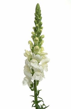 white snapdragons flowers - Google Search