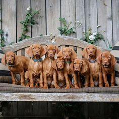 Hungarian Vizsla, Vizsla Puppies, Labrador Retriever, Kitty, Future, Pets, Pictures, Animals, Instagram