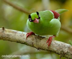 Short-tailed Green Magpie, Cissa thalassina. trustinggod4everything.com