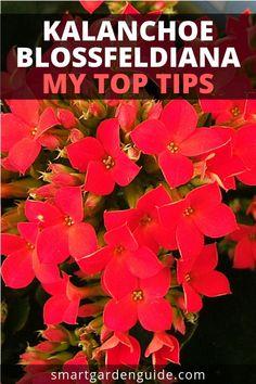 How To Care For Flaming Katy (Kalanchoe Blossfeldiana) - Smart Garden Guide