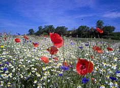 Really Wild Flowers - great site that sells and gives info on British wildflowers
