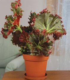 Begonia 'Madame Queen' (Begonia rhizomatous hybrid)