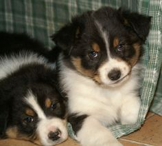Australian Shepherd Dog Photo | Australian Shepherd Puppies Pictures Photos Pics