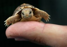 A worker in a zoo holds a tiny Testudo Kleinmanni hatchling. The endangered species is also known as the Egyptian tortoise, and was rescued ...