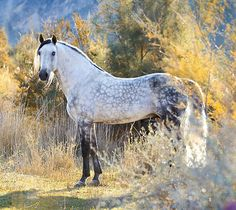 Pura Raza Española stallion, Cumbrero II. photo: Alexia Khruscheva.