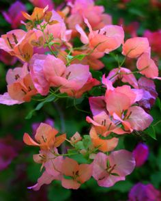 Bougainvillea by Nate A Pink Poppies, Pink Flowers, Amazing Flowers, Beautiful Flowers, Garden Plants, House Plants, Bougainvillea Tree, Pink Flowering Trees, Fargesia