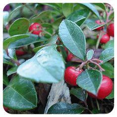 Gaultheria procumbens Pranarôm - Huile essentielle Gaulthérie couchée - les-huiles-essentielles-bio