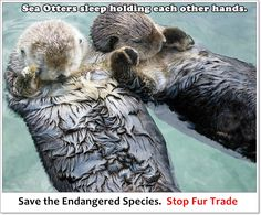 Sea Otters sleep holding hands. Sea Otters are one of the few marine mammals who takes the help of tools such as stones or rocks to kill their pray. These mammals are classified as one of the endangered species, due to their accelerated killing for FUR TRADE.  Sad story. :(  Please stop fur trade.  #stopfurtrade #loveanimals