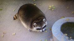 Fat raccoon at the Yamanashi Zoo! Fat Animals, Animals And Pets, Funny Animals, Fat Raccoon, Racoon, Dark Circles Around Eyes, Yamanashi, Funny Animal Pictures, Animal Memes