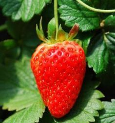 what is the secret to growing big strawberries, how do you renovate a strawberry patch,  when do you fertilize strawberries.  Could I interplant with the blueberries???