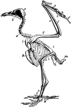 Avian anatomy illustration by Volcher Coiter | Skulled | Pinterest ...