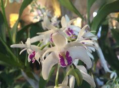 Orchidophiles