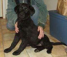 Tera Border Collie  Labrador Retriever Mix • Young • Female • Large Ozark Humane Society Harrison, AR