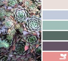 Hen and chicks hues