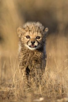 ~~little scream ~ 6-week old cheetah cub by Marion Vollborn~~