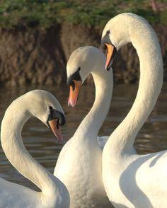 Mute Swans (Cygnus olor immutabilis) (by Anthony Dixon Photography)