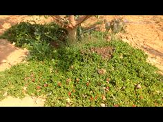 Desert succulent ground cover. Permaculture