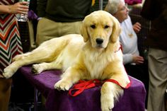 At Westminster, Lush meets and greets the crowd. GCH Harborview Sweeter Than 'Shine At PoeticGold CGC owned by Jill Simmons