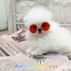 I start reading newspaper every morning 🗞😎 @alohateacuppuppies . The healthiest tiny puppy in the world🌟NO DM🌟 Teacup Pomeranian, Teacup Puppies, Tiny Puppies, Puppy Party, Puppy Chow, Cute Dogs, Fur Slides, Newspaper, Slippers