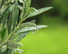 Extrait de feuilles d'olivier? Utilisation de l'extrait de feuilles d'olivier Préparation du remède naturel Usage et contre-indications Extrait de feuilles d'olivier L'extrait de feuille d'olivier est une panacée pour l'organisme : il purifie, améliore la circulation sanguine, est un très bon antioxydant et anti-inflammatoire naturels. Ci-dessous la formule pour le préparer maison. L'extrait de feuille […]