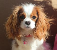 Bubbles - The Cavalier King Charles Spaniel....looks just like my Sadie.