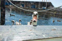 swan - Doo it - just doo it