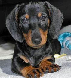 I need this little baby in my life!! :-) #Dachshund