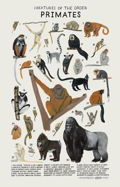 Animals Drawing Creatures of the order Primates, Art print of an illustration by Kelsey Oseid. This poster chronicles 30 lemurs, monkeys, apes and more from the taxonomic order Primates. Printed in Minneapolis on acid free 80 Primates, Mammals, Animal Kingdom, Animals And Pets, Cute Animals, Wild Animals, Baby Animals, Funny Animals, In The Zoo
