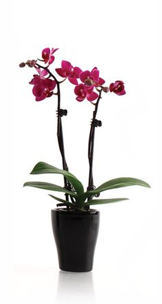 Mini orchids only need one ice cube a week and prefer bright, indirect sunlight.