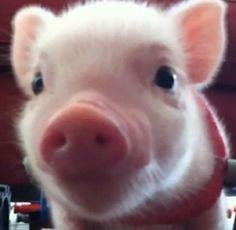 Love him....Chris P Bacon, pig in a wheelchair