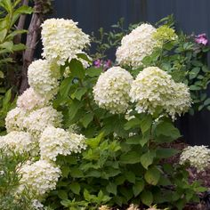 (K) Little Lime Hardy Hydrangea - Hydrangea paniculata 'Jane'; 7 plants installed (K) Dwarf Hydrangea, Limelight Hydrangea, Hydrangea Garden, Garden Shrubs, Flowering Shrubs, Shade Garden, Garden Plants, Hydrangea Varieties, Patio Plants