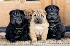 Chinese Shar-pei pups Diane Lewis/©AKC