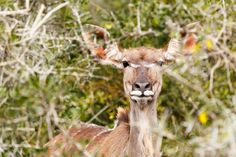 Female Greater Kudu trying to hide Female Greater Kudu trying to hide between all the branches.