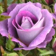 The Fragrant Rose Company have the finest selection of Fragrant Purple Roses, Fragrant Lilac Roses, Fragrant Climbing Purple Roses available in the UK Lilac Roses, Purple Lilac, Amazing Flowers, Beautiful Roses, Beautiful Tattoos, Thornless Roses, Autumn Flowering Plants, Standard Roses, Nature