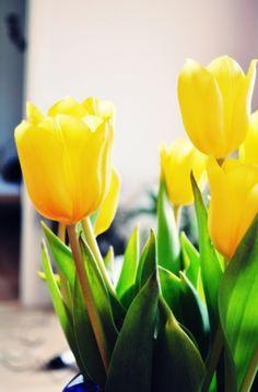 23 Mejores Imagenes De Tulipanes Amarillos Yellow Tulips