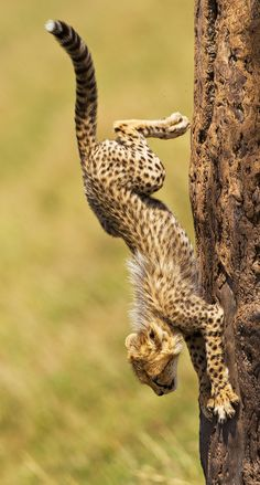 Descending Cheetah - Okay, I will be the first to get today's chow...here I go & watch this feat of gravity, physics & physiology -  photo by Stephen Earle