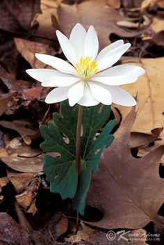 Bloodroot-Sanguinaria Canadensis-Wildflower