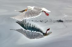 Seagull shortly after take-off in Alaska.
